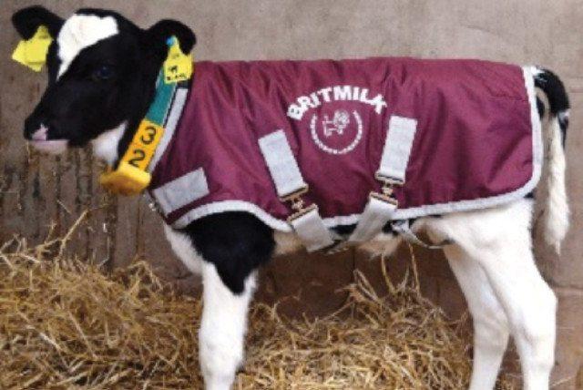 Brit Milk calf